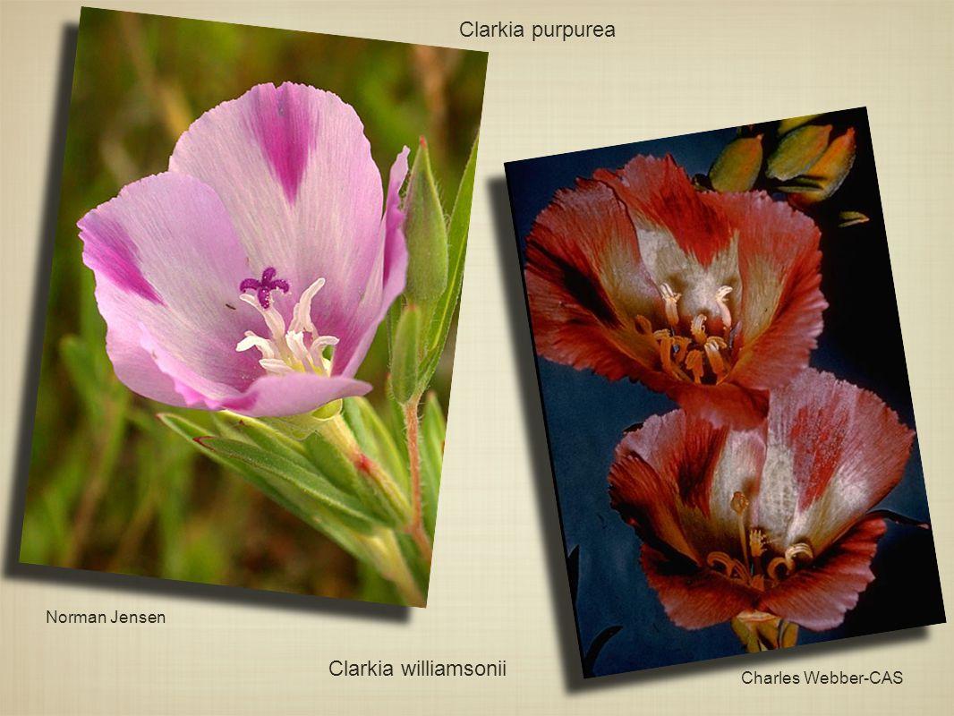 Clarkia purpurea Norman Jensen Charles Webber-CAS Clarkia williamsonii