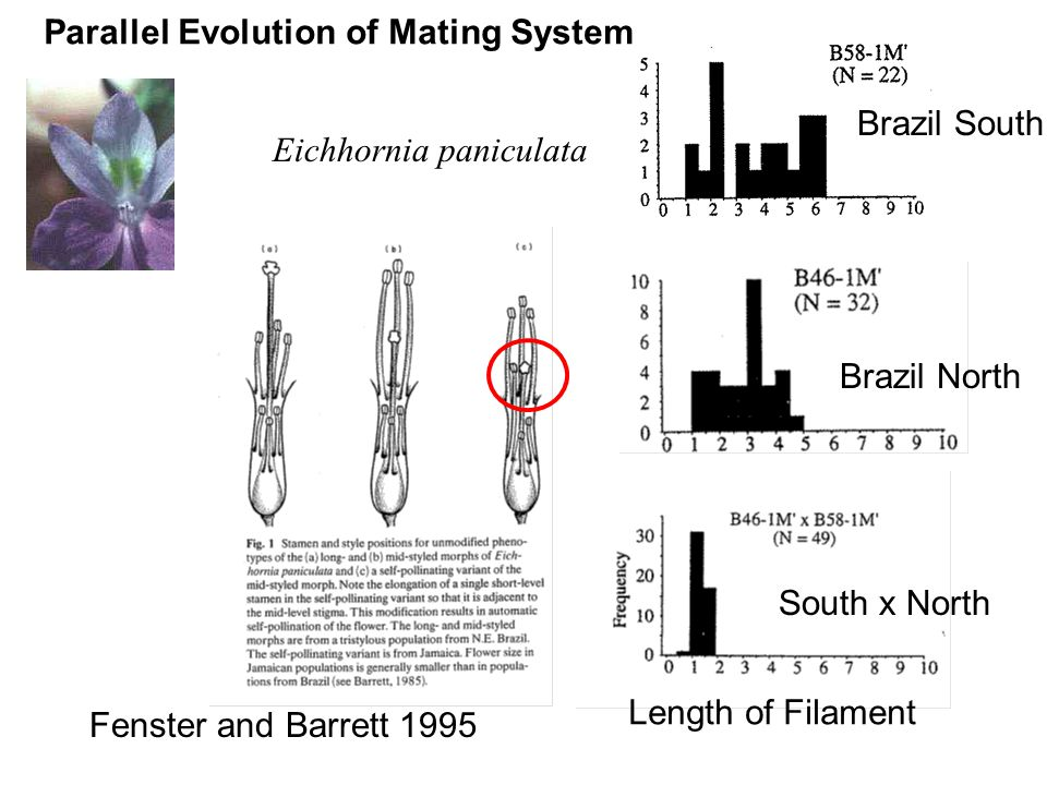 Length of Filament Brazil South South x North Parallel Evolution of Mating System Eichhornia paniculata Fenster and Barrett 1995 Brazil North