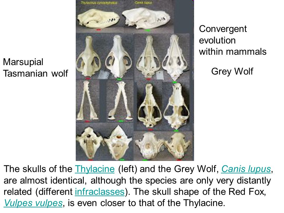 The skulls of the Thylacine (left) and the Grey Wolf, Canis lupus,ThylacineCanis lupus are almost identical, although the species are only very distantly related (different infraclasses).
