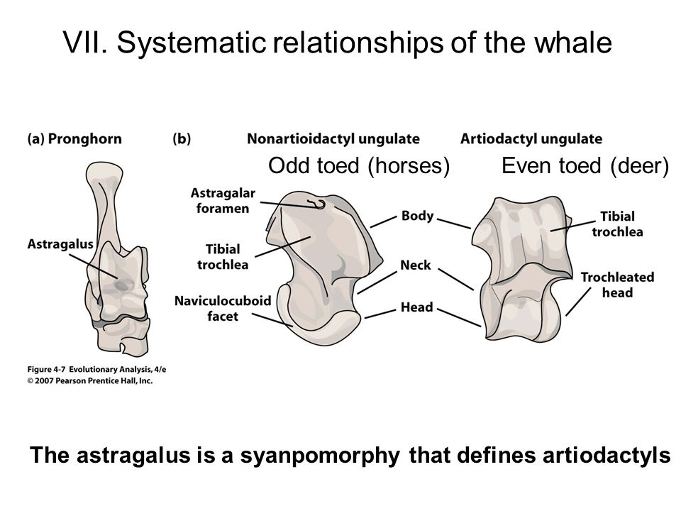 VII. Systematic relationships of the whale The astragalus is a syanpomorphy that defines artiodactyls Odd toed (horses) Even toed (deer)