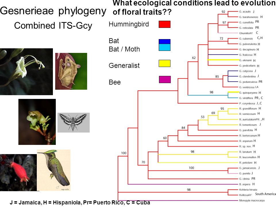 ITS + Gcyc Hummingbird Bat Bat / Moth Generalist Bee Gesnerieae phylogeny Combined ITS-Gcy What ecological conditions lead to evolution of floral traits .