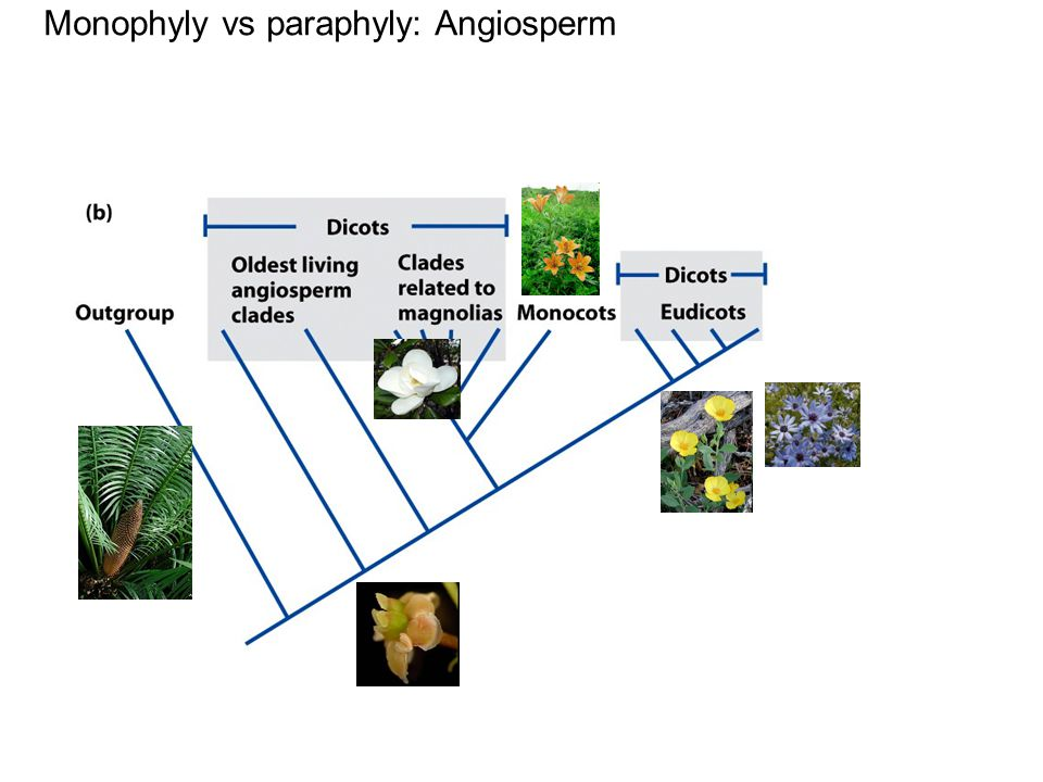 Monophyly vs paraphyly: Angiosperm