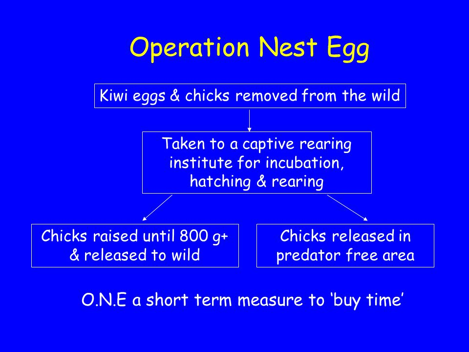 Operation Nest Egg Kiwi eggs & chicks removed from the wild Taken to a captive rearing institute for incubation, hatching & rearing Chicks raised until 800 g+ & released to wild Chicks released in predator free area O.N.E a short term measure to 'buy time'