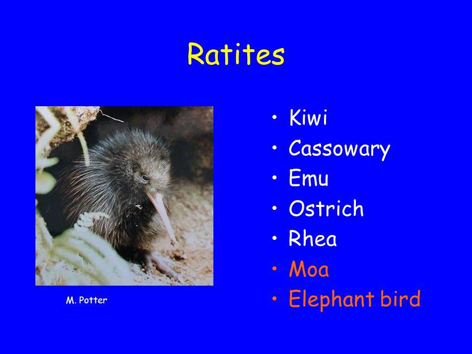 Taxonomy North Island brown kiwi (Apteryx mantelli) Okarito brown kiwi (Apteryx rowi) Southern tokoeka (Apteryx australis) Haast tokoeka (Apteryx australis ''Haast') Great spotted kiwi (Apteryx haastii) Little spotted kiwi (Apteryx owenii) R.