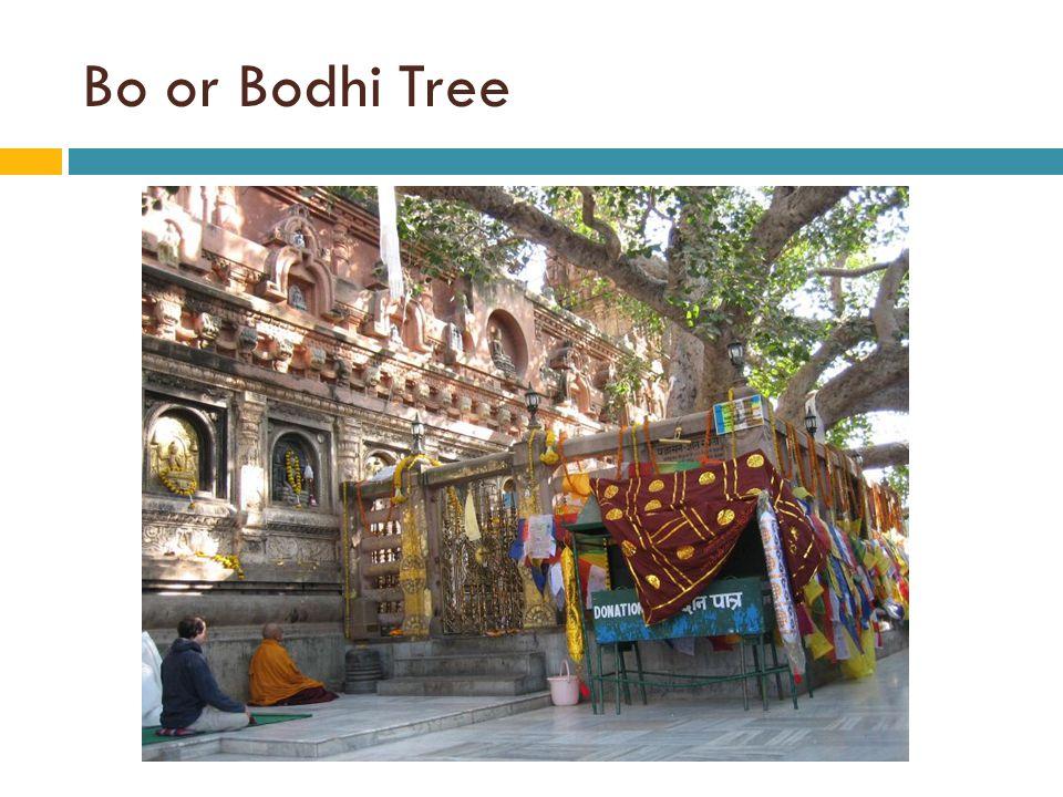 Bo or Bodhi Tree