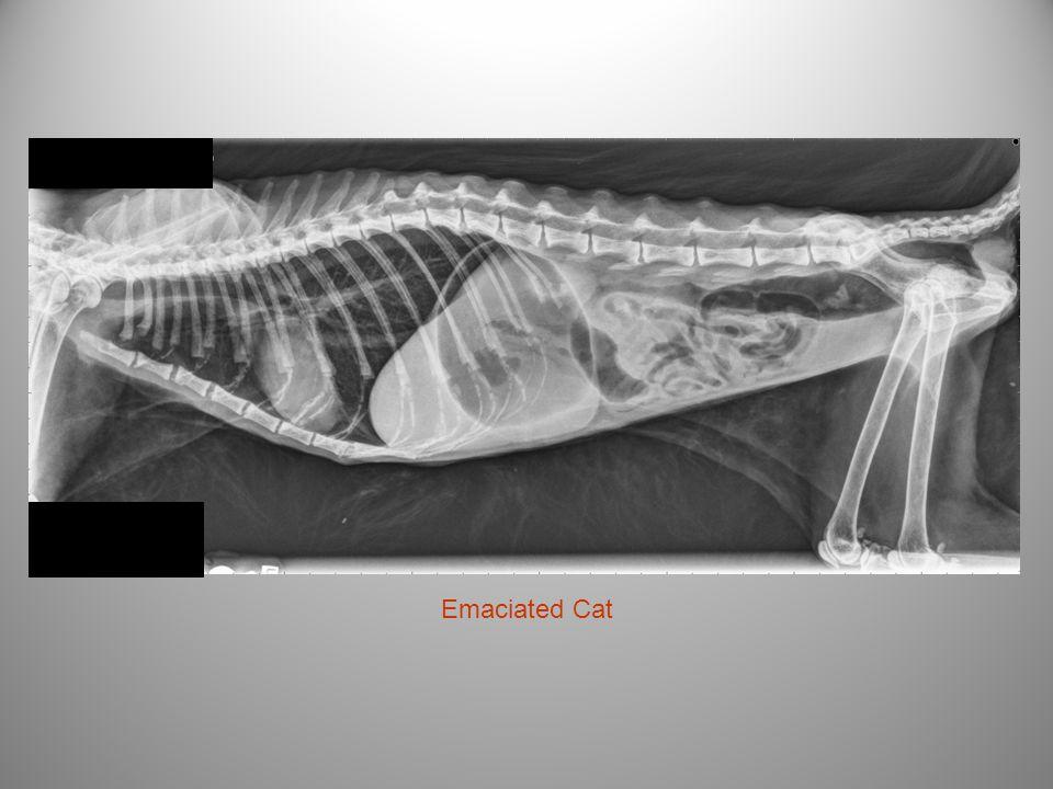 Emaciated Cat