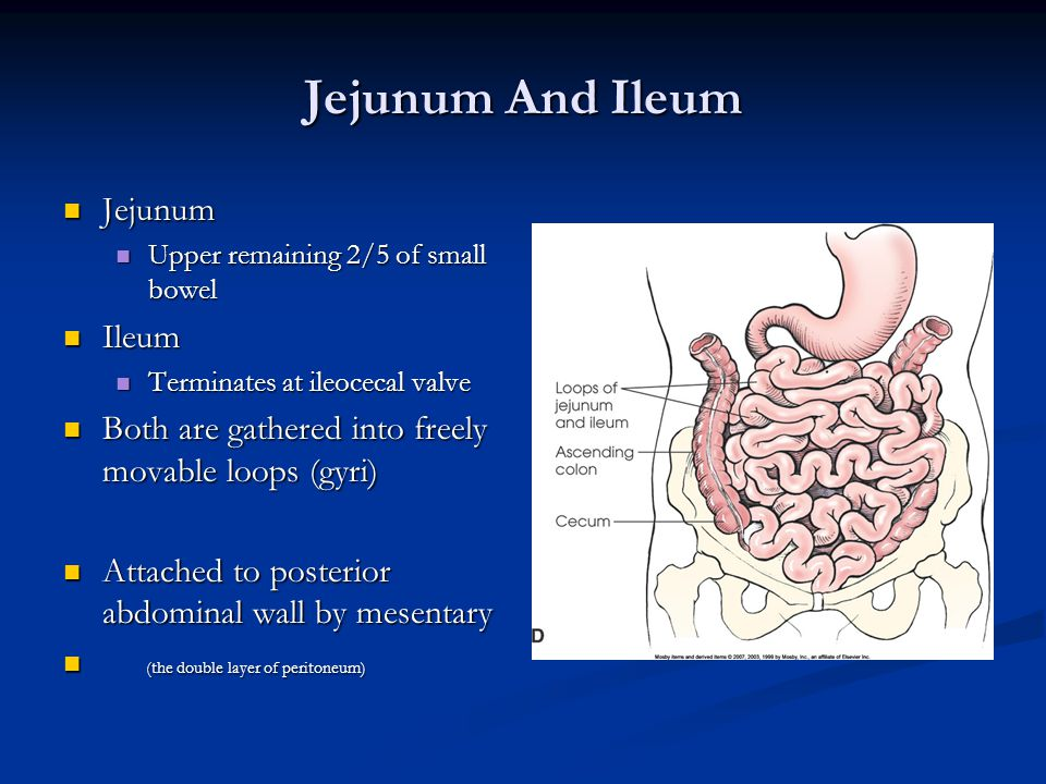 Jejunum And Ileum Jejunum Jejunum Upper remaining 2/5 of small bowel Upper remaining 2/5 of small bowel Ileum Ileum Terminates at ileocecal valve Terminates at ileocecal valve Both are gathered into freely movable loops (gyri) Both are gathered into freely movable loops (gyri) Attached to posterior abdominal wall by mesentary Attached to posterior abdominal wall by mesentary (the double layer of peritoneum) (the double layer of peritoneum)