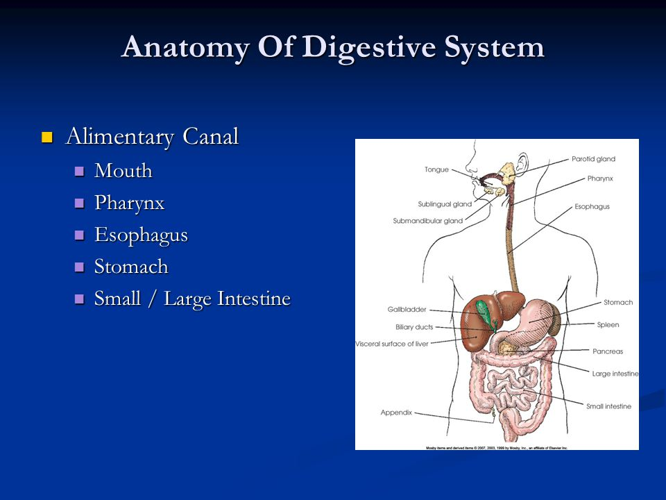 Anatomy Of Digestive System Alimentary Canal Alimentary Canal Mouth Mouth Pharynx Pharynx Esophagus Esophagus Stomach Stomach Small / Large Intestine
