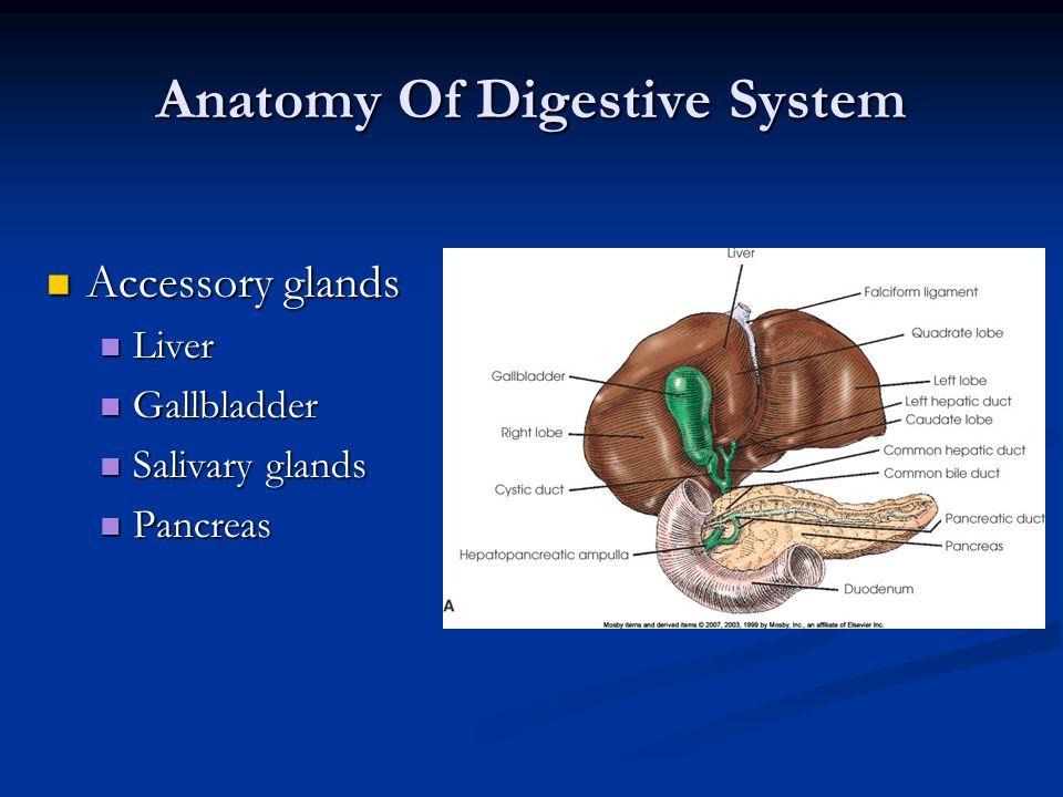Anatomy Of Digestive System Accessory glands Accessory glands Liver Liver Gallbladder Gallbladder Salivary glands Salivary glands Pancreas Pancreas