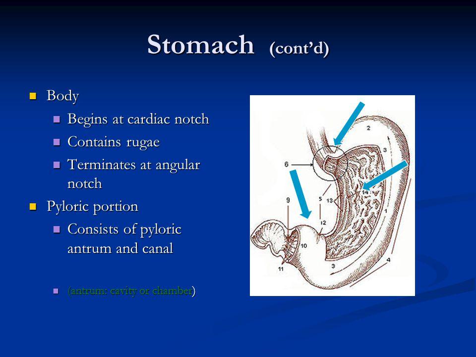 Stomach (cont'd) Body Body Begins at cardiac notch Begins at cardiac notch Contains rugae Contains rugae Terminates at angular notch Terminates at ang