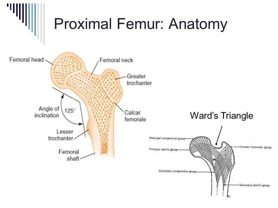 Proximal Femur: Anatomy Ward's Triangle