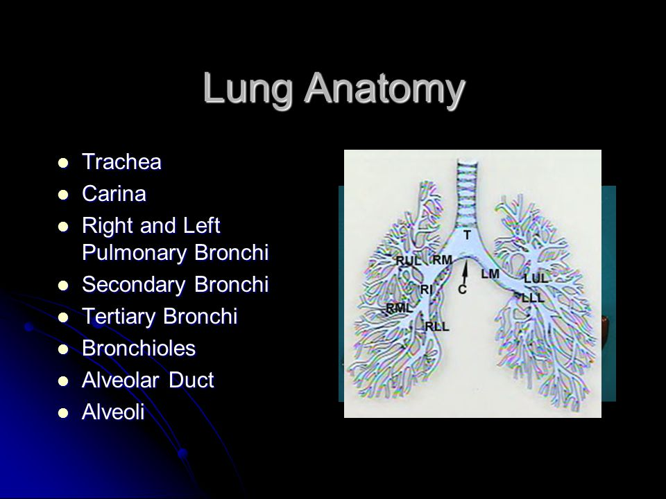 Lung Anatomy Trachea Trachea Carina Carina Right and Left Pulmonary Bronchi Right and Left Pulmonary Bronchi Secondary Bronchi Secondary Bronchi Terti