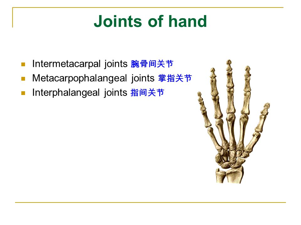 Joints of hand Intermetacarpal joints 腕骨间关节 Metacarpophalangeal joints 掌指关节 Interphalangeal joints 指间关节
