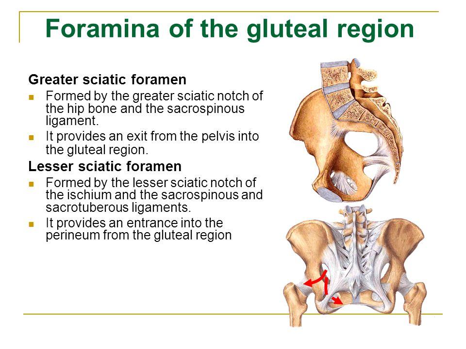 Foramina of the gluteal region Greater sciatic foramen Formed by the greater sciatic notch of the hip bone and the sacrospinous ligament. It provides