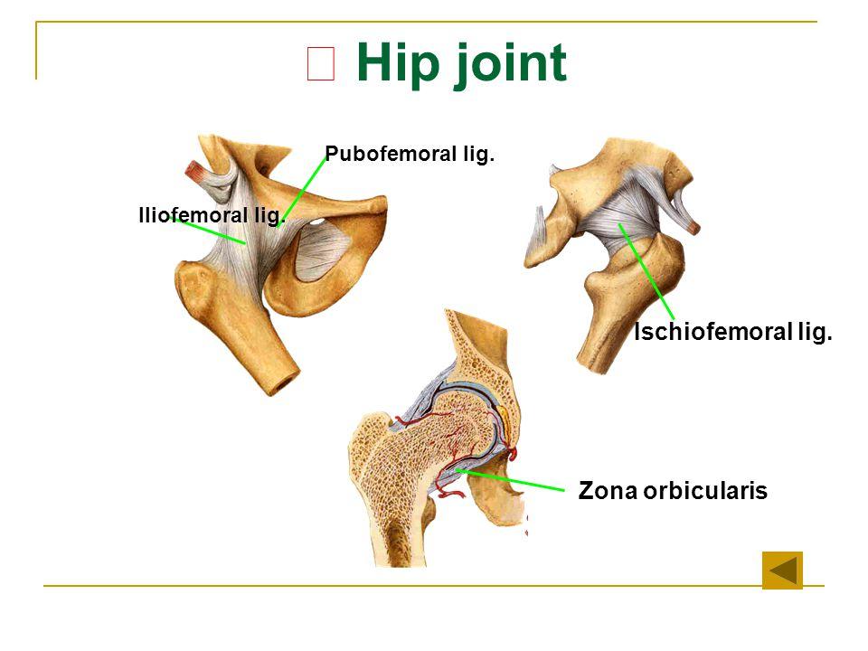 ★ Hip joint Ischiofemoral lig. Zona orbicularis Iliofemoral lig. Pubofemoral lig.
