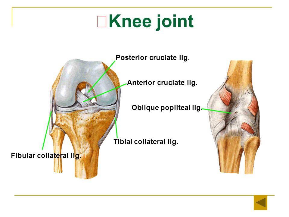 ★ Knee joint Oblique popliteal lig.Anterior cruciate lig.