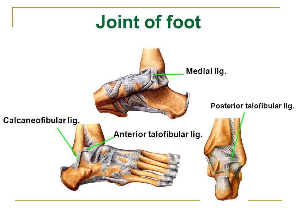 Joint of foot Medial lig. Calcaneofibular lig. Anterior talofibular lig. Posterior talofibular lig.