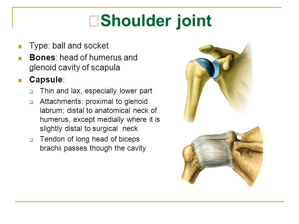 ★ Shoulder joint Type: ball and socket Bones: head of humerus and glenoid cavity of scapula Capsule:  Thin and lax, especially lower part  Attachmen