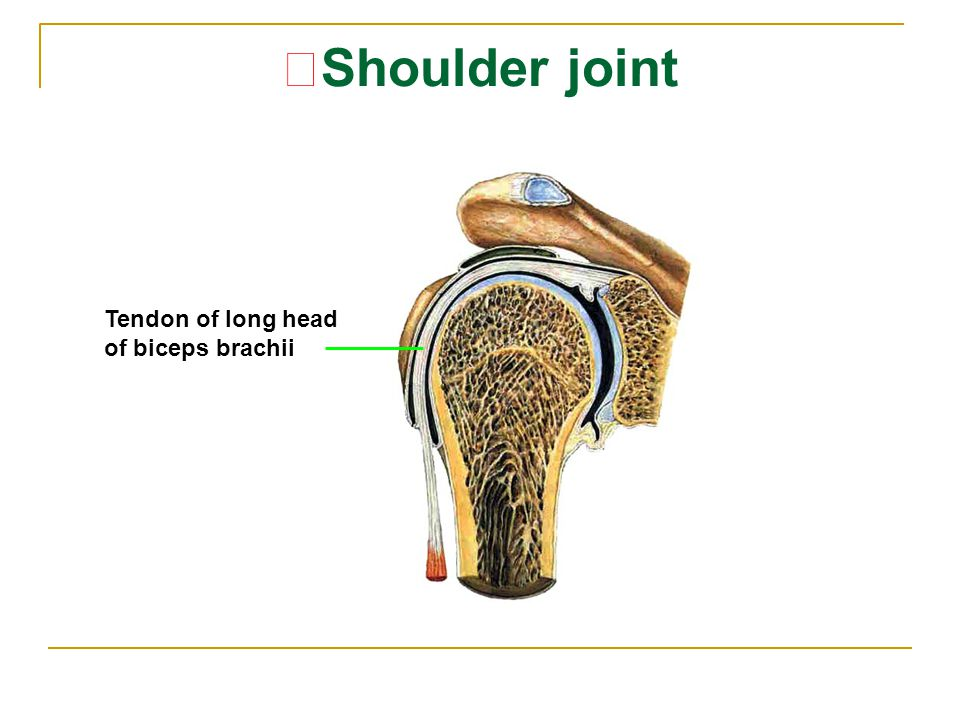 ★ Shoulder joint Tendon of long head of biceps brachii