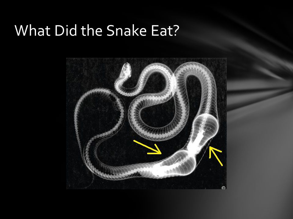 What Did the Snake Eat
