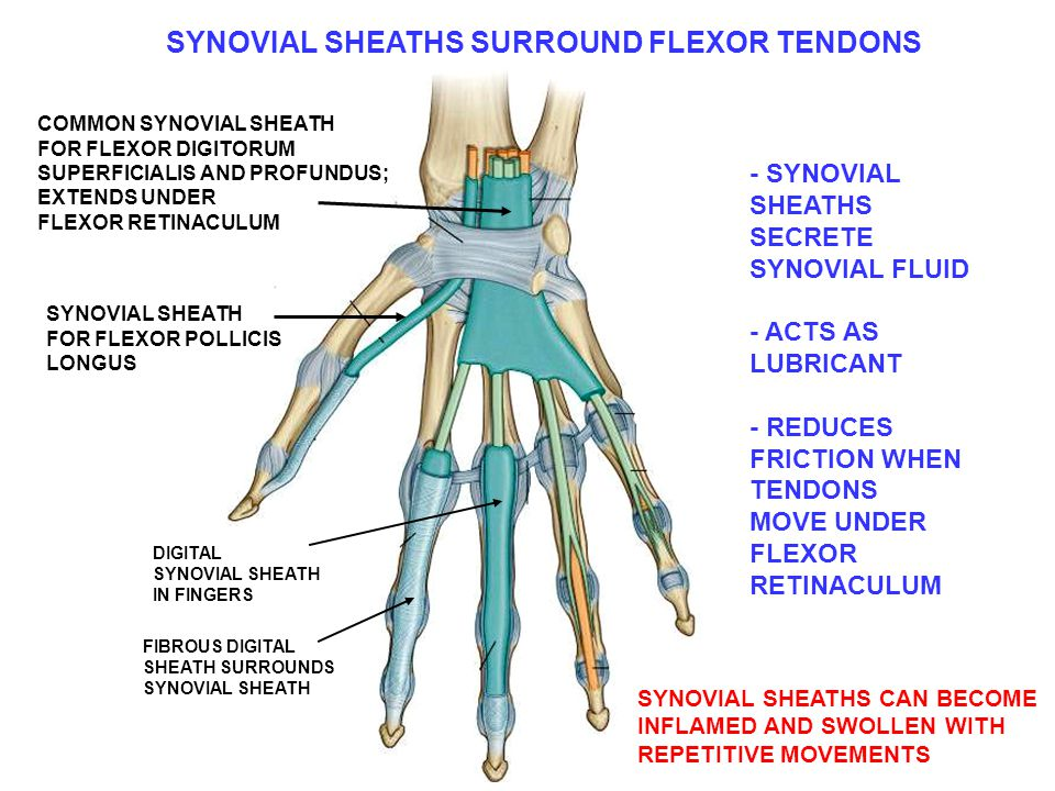 COMMON SYNOVIAL SHEATH FOR FLEXOR DIGITORUM SUPERFICIALIS AND PROFUNDUS; EXTENDS UNDER FLEXOR RETINACULUM SYNOVIAL SHEATH FOR FLEXOR POLLICIS LONGUS DIGITAL SYNOVIAL SHEATH IN FINGERS FIBROUS DIGITAL SHEATH SURROUNDS SYNOVIAL SHEATH SYNOVIAL SHEATHS SURROUND FLEXOR TENDONS - SYNOVIAL SHEATHS SECRETE SYNOVIAL FLUID - ACTS AS LUBRICANT - REDUCES FRICTION WHEN TENDONS MOVE UNDER FLEXOR RETINACULUM SYNOVIAL SHEATHS CAN BECOME INFLAMED AND SWOLLEN WITH REPETITIVE MOVEMENTS