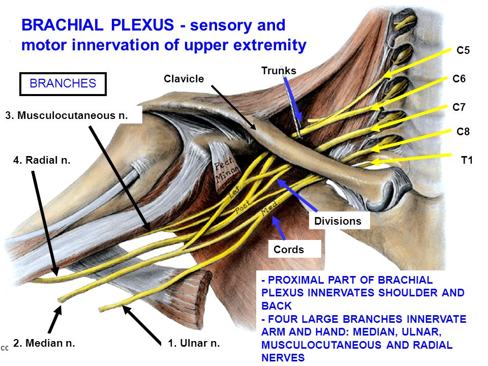 C5 C6 C7 C8 T1 Clavicle 1. Ulnar n. 4. Radial n. 3. Musculocutaneous n. 2. Median n. Trunks Divisions Cords BRANCHES BRACHIAL PLEXUS - sensory and mot
