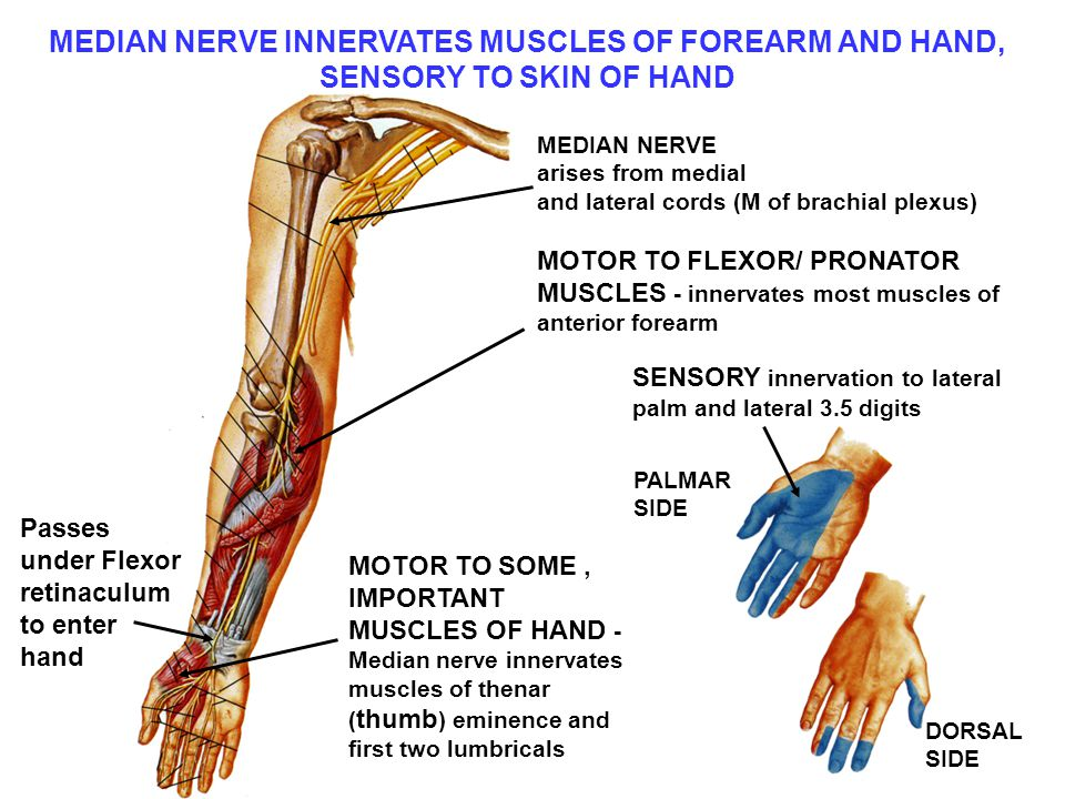 MEDIAN NERVE INNERVATES MUSCLES OF FOREARM AND HAND, SENSORY TO SKIN OF HAND MEDIAN NERVE arises from medial and lateral cords (M of brachial plexus) MOTOR TO FLEXOR/ PRONATOR MUSCLES - innervates most muscles of anterior forearm MOTOR TO SOME, IMPORTANT MUSCLES OF HAND - Median nerve innervates muscles of thenar ( thumb ) eminence and first two lumbricals Passes under Flexor retinaculum to enter hand SENSORY innervation to lateral palm and lateral 3.5 digits PALMAR SIDE DORSAL SIDE