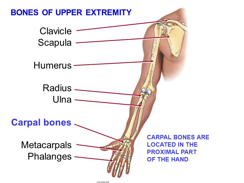Clavicle Scapula Humerus Radius Ulna Carpal bones Metacarpals Phalanges BONES OF UPPER EXTREMITY CARPAL BONES ARE LOCATED IN THE PROXIMAL PART OF THE