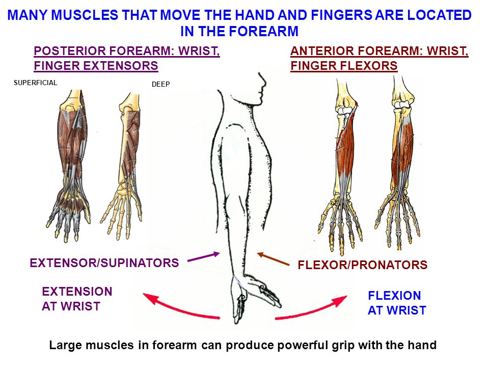 MANY MUSCLES THAT MOVE THE HAND AND FINGERS ARE LOCATED IN THE FOREARM FLEXION AT WRIST EXTENSION AT WRIST EXTENSOR/SUPINATORS POSTERIOR FOREARM: WRIST, FINGER EXTENSORS ANTERIOR FOREARM: WRIST, FINGER FLEXORS FLEXOR/PRONATORS SUPERFICIAL DEEP Large muscles in forearm can produce powerful grip with the hand
