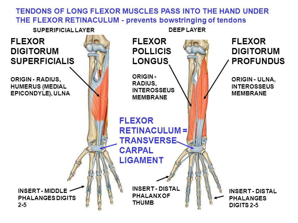 TENDONS OF LONG FLEXOR MUSCLES PASS INTO THE HAND UNDER THE FLEXOR RETINACULUM - prevents bowstringing of tendons INSERT - MIDDLE PHALANGES DIGITS 2-5 INSERT - DISTAL PHALANX OF THUMB FLEXOR DIGITORUM SUPERFICIALIS ORIGIN - RADIUS, HUMERUS (MEDIAL EPICONDYLE), ULNA FLEXOR POLLICIS LONGUS ORIGIN - RADIUS, INTEROSSEUS MEMBRANE FLEXOR DIGITORUM PROFUNDUS ORIGIN - ULNA, INTEROSSEUS MEMBRANE INSERT - DISTAL PHALANGES DIGITS 2-5 FLEXOR RETINACULUM = TRANSVERSE CARPAL LIGAMENT SUPERIFICIAL LAYER DEEP LAYER
