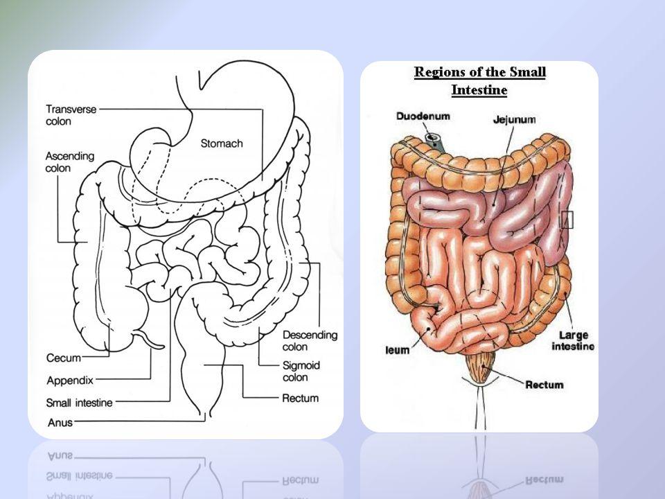 A: duodenum C: jejunum D:ileum E: area of ileocecal valve PA 30 mins