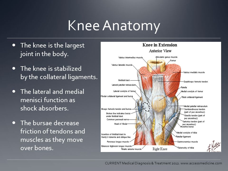 Knee Anatomy The knee is the largest joint in the body.