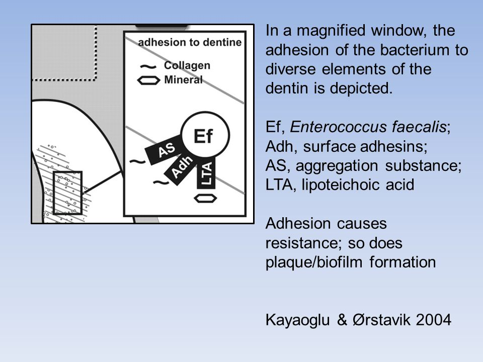 In a magnified window, the adhesion of the bacterium to diverse elements of the dentin is depicted. Ef, Enterococcus faecalis; Adh, surface adhesins;