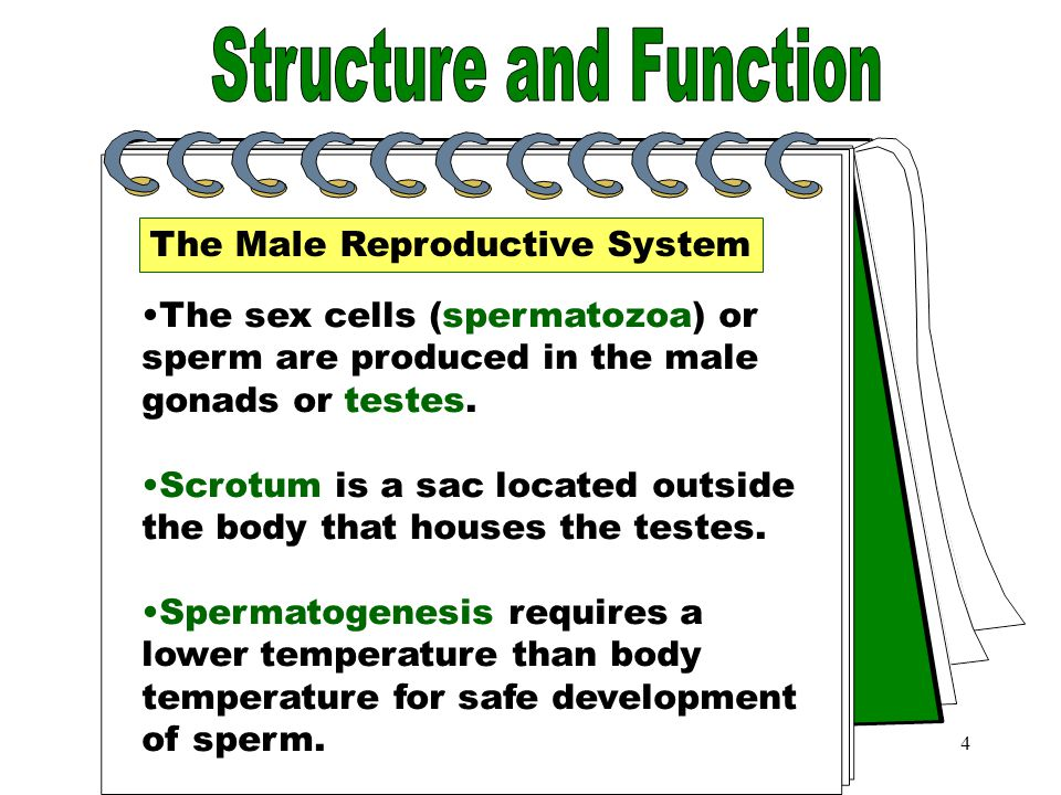 4 Sex Cells The Male Reproductive System The sex cells (spermatozoa) or sperm are produced in the male gonads or testes.