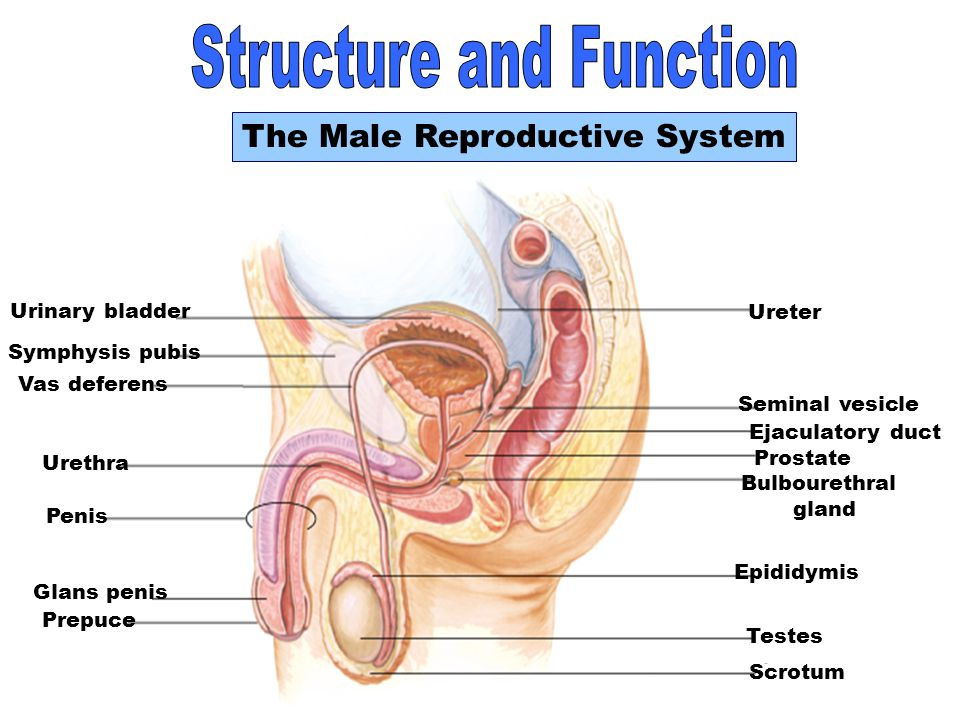 6 Structure and Function The Male Reproductive System Urinary bladder Urethra Penis Glans penis Prepuce Seminal vesicle Ejaculatory duct Prostate gland Bulbourethral gland Ureter Symphysis pubis Vas deferens Epididymis Testes Scrotum