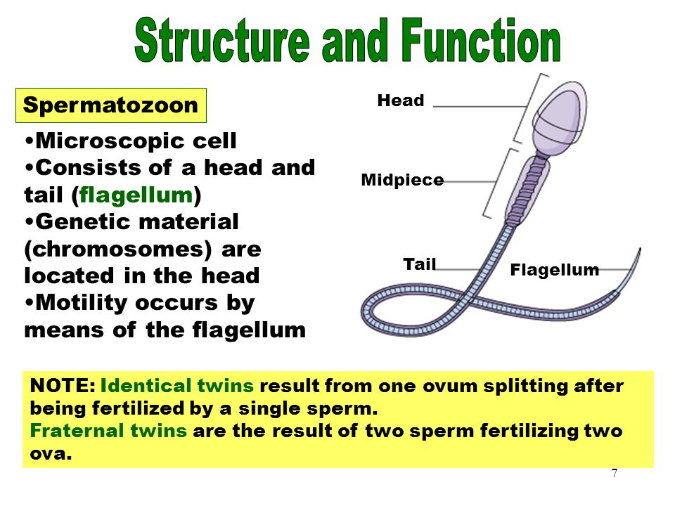 7 Spermatozoon Microscopic cell Consists of a head and tail (flagellum) Genetic material (chromosomes) are located in the head Motility occurs by means of the flagellum NOTE: Identical twins result from one ovum splitting after being fertilized by a single sperm.