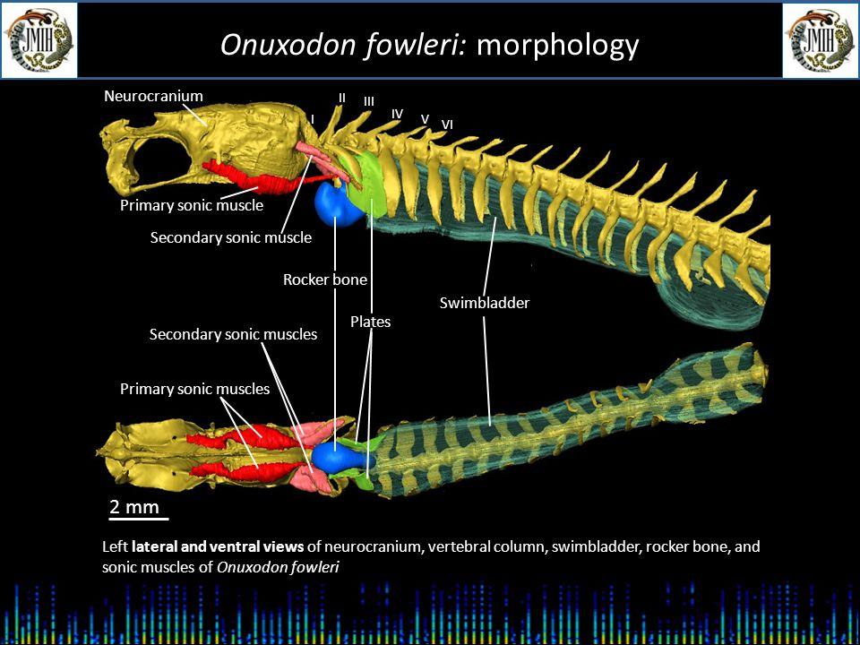 Onuxodon fowleri: sound production (s) 1 sound type: - Pulse duration: ca.