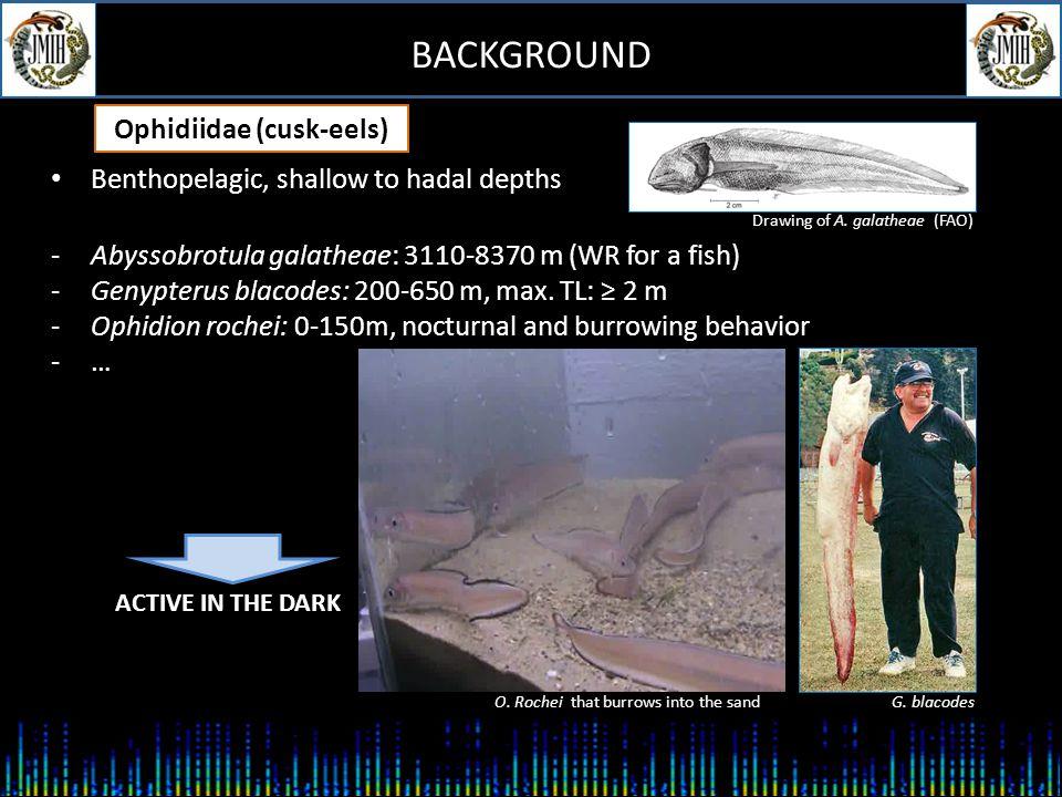 BACKGROUND Ophidiiformes ( ≥ 350 species) OphidioideiBythitoidei BythitidaeAphyonidae OphidiidaeCarapidae Bythitoidei BythitidaeAphyonidae OphidiidaeCarapidae