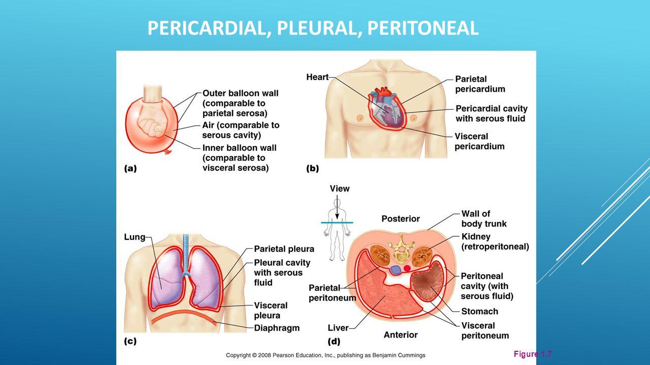 Figure 1.7 PERICARDIAL, PLEURAL, PERITONEAL