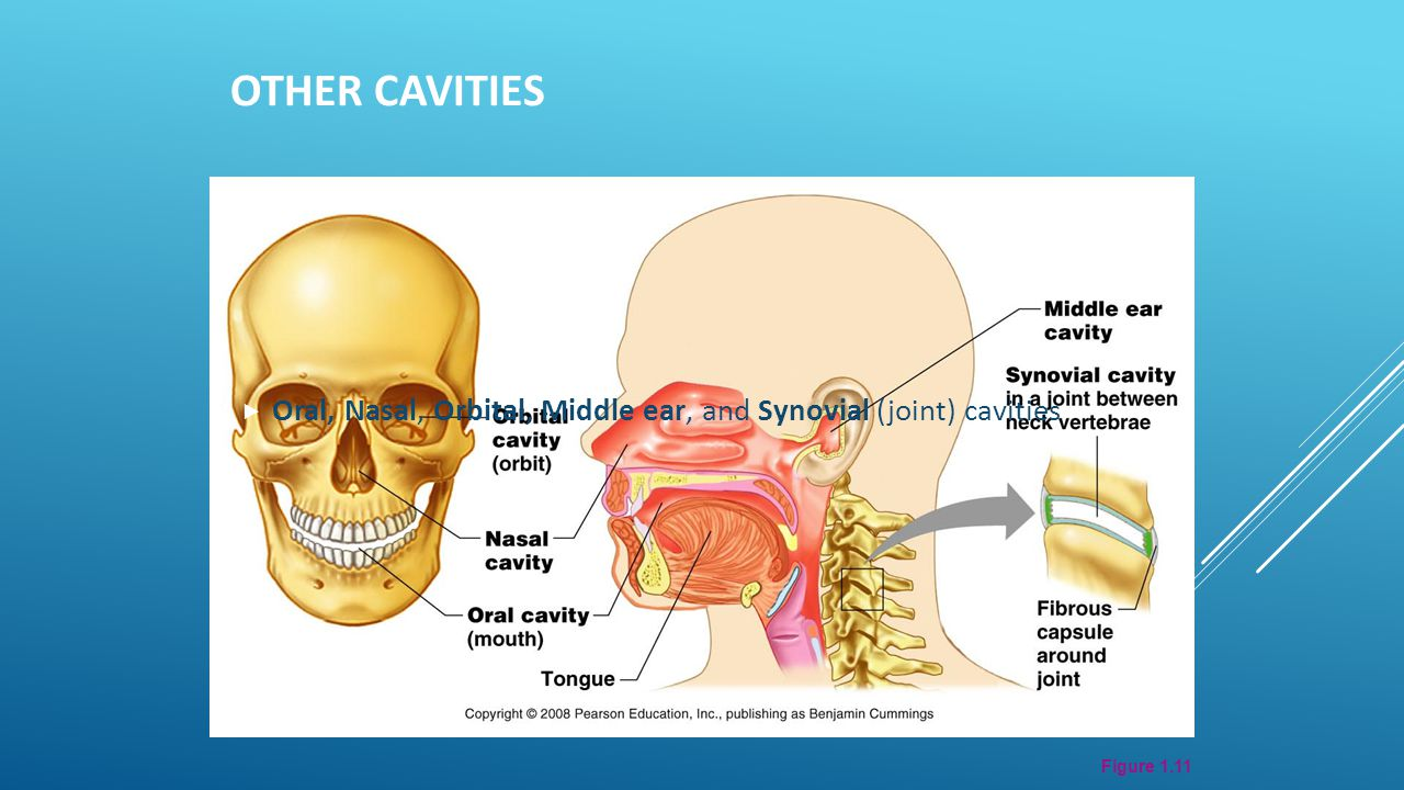 Figure 1.11 OTHER CAVITIES  Oral, Nasal, Orbital, Middle ear, and Synovial (joint) cavities