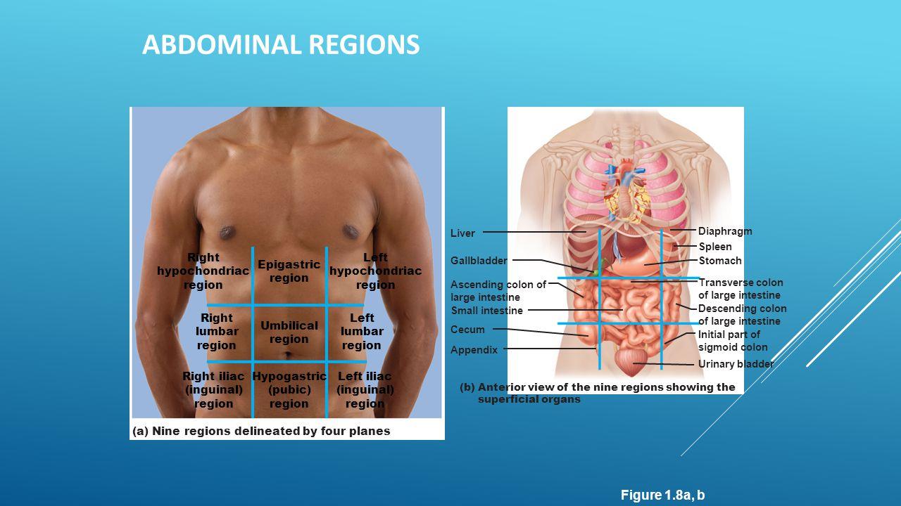 ABDOMINAL REGIONS Figure 1.8a, b Epigastric region Umbilical region Right lumbar region Left lumbar region Right hypochondriac region Left hypochondri