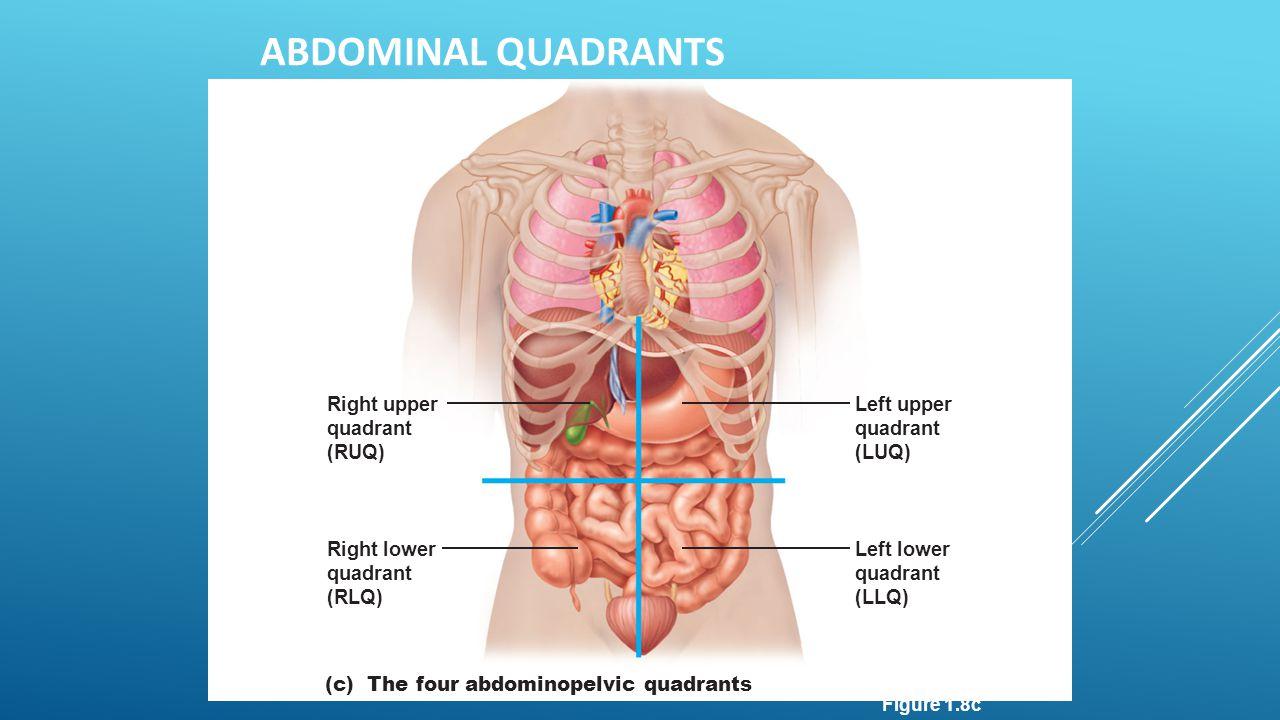 Right upper quadrant (RUQ) Right lower quadrant (RLQ) Left upper quadrant (LUQ) Left lower quadrant (LLQ) (c) The four abdominopelvic quadrants ABDOMI