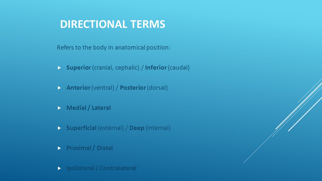 DIRECTIONAL TERMS Refers to the body in anatomical position:  Superior (cranial, cephalic) / Inferior (caudal)  Anterior (ventral) / Posterior (dors