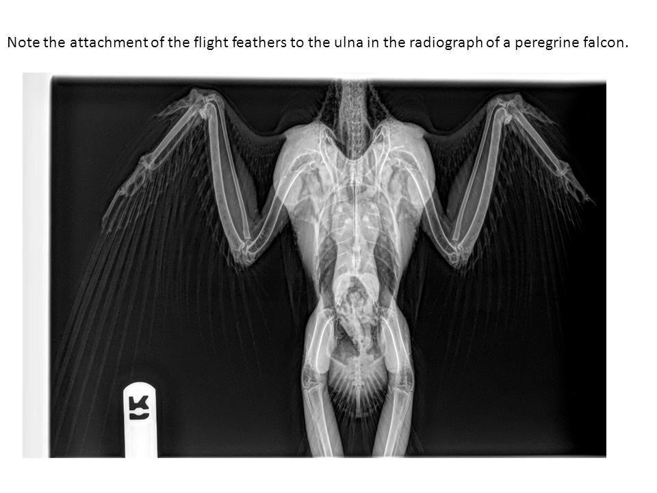 Note the attachment of the flight feathers to the ulna in the radiograph of a peregrine falcon.