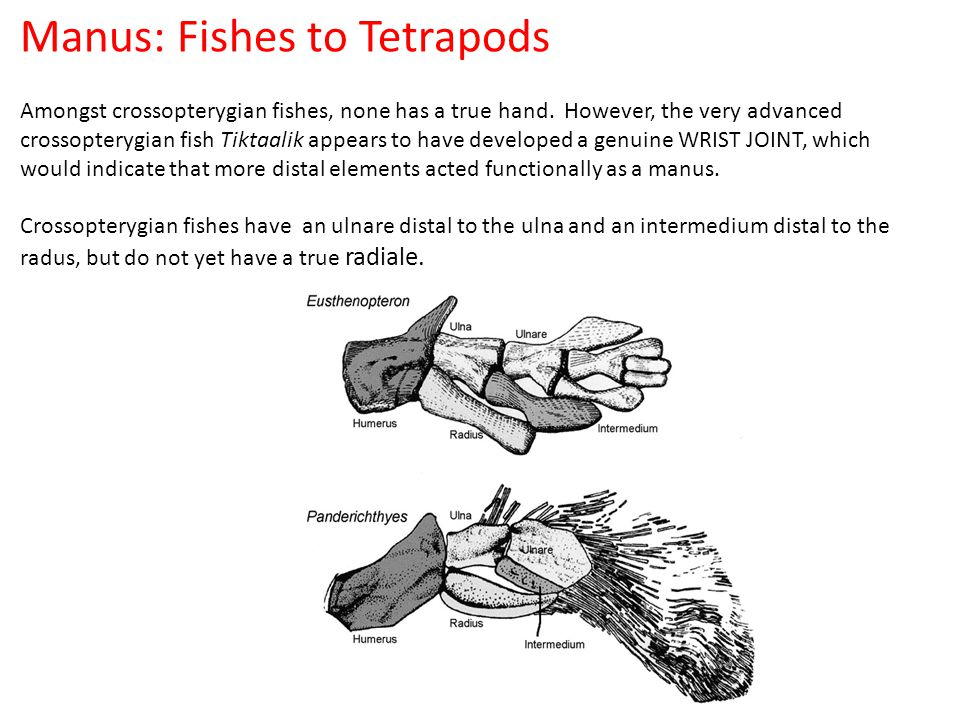 Manus: Fishes to Tetrapods Amongst crossopterygian fishes, none has a true hand.