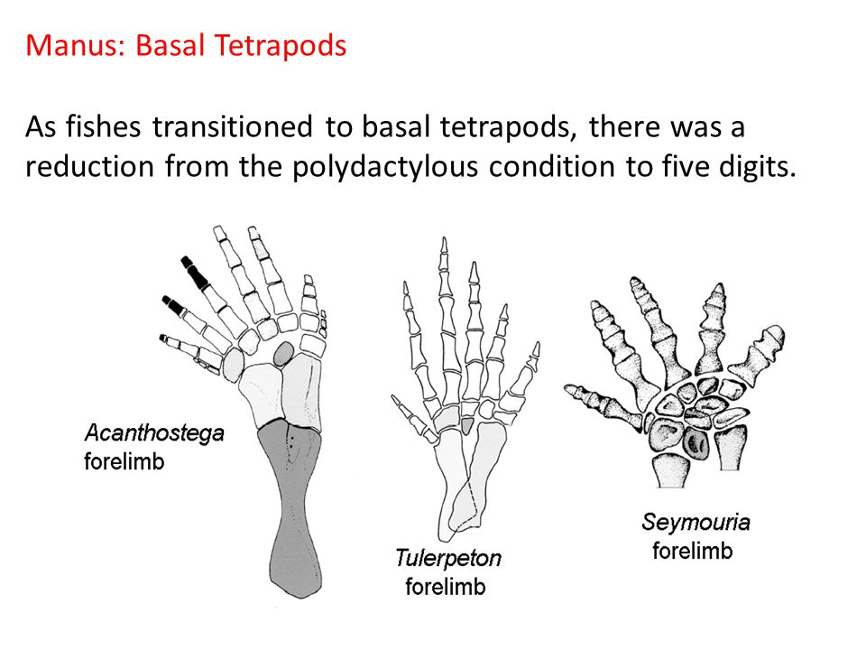 Manus: Basal Tetrapods As fishes transitioned to basal tetrapods, there was a reduction from the polydactylous condition to five digits.