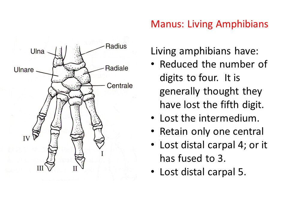 Manus: Living Amphibians Living amphibians have: Reduced the number of digits to four.