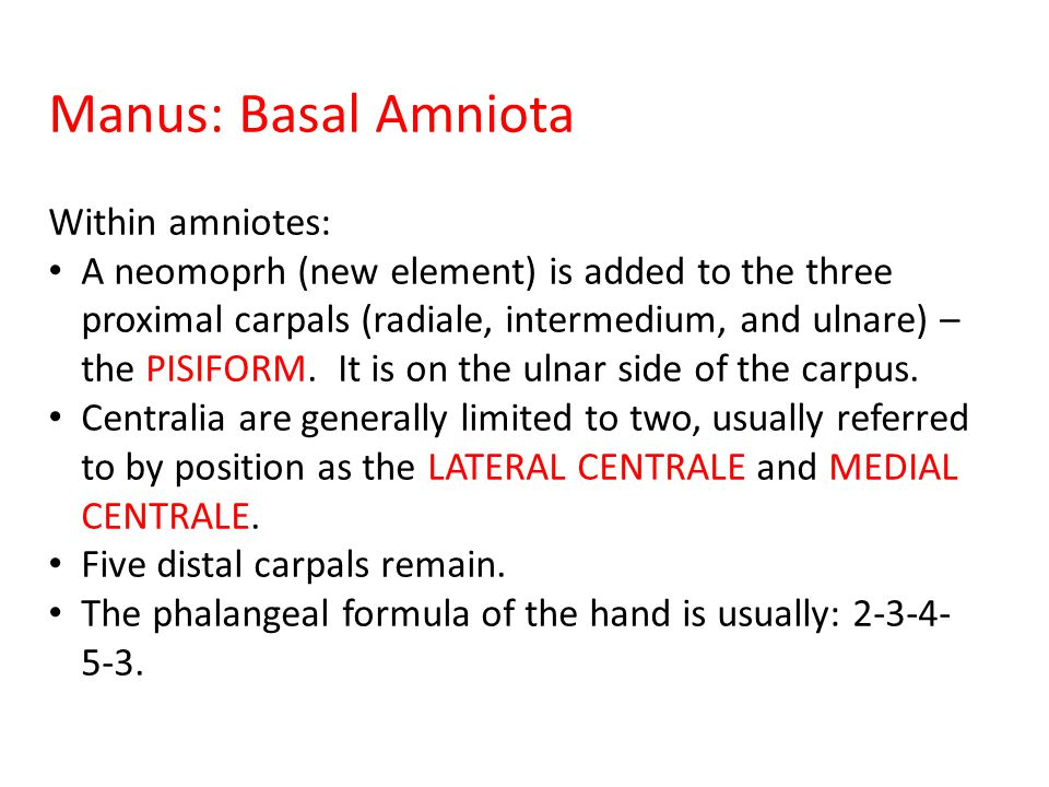 Manus: Basal Amniota Within amniotes: A neomoprh (new element) is added to the three proximal carpals (radiale, intermedium, and ulnare) – the PISIFORM.