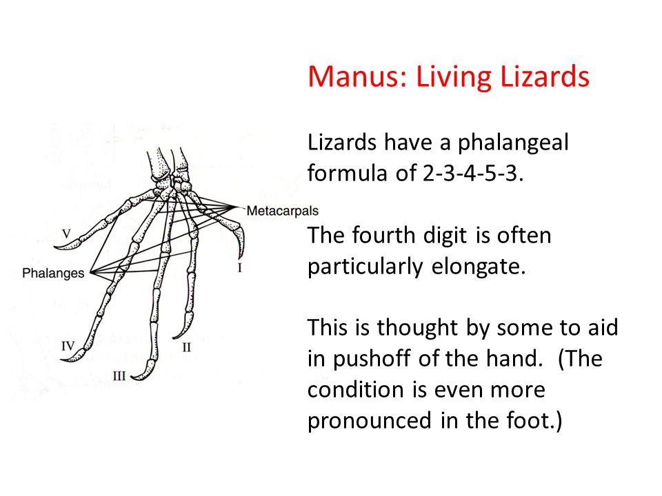 Manus: Living Lizards Lizards have a phalangeal formula of 2-3-4-5-3.