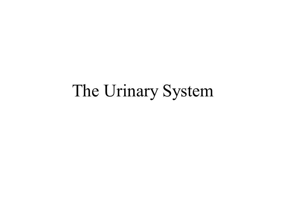 Urogenital system (male dog) 1.Kidney 2. Ureter 3.